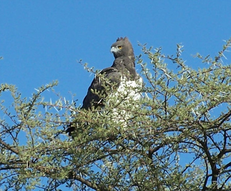 Martial_Eagle_in_Namibia.jpg