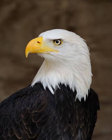 800px-Bald_Eagle_Portrait.jpg