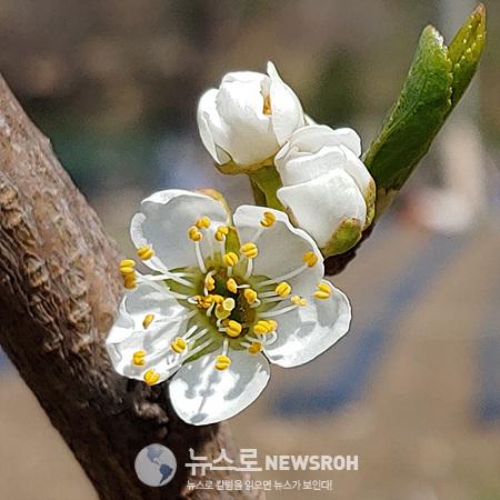 대0425 꽃교대 자두꽃.jpg