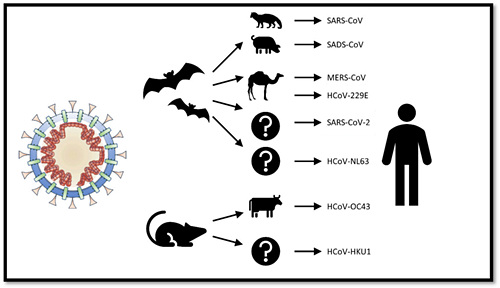 800px-Animal_origins_of_human_coronaviruses_webp.jpg